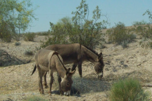 Reward Raised To $58,000 To Find Person Killing Burros In CA Desert